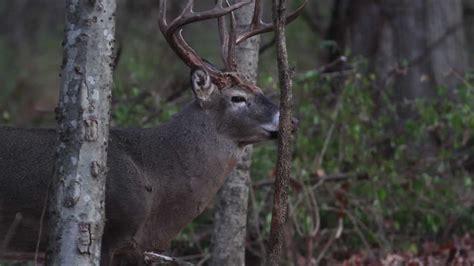 whitetail buck rut behavior hd youtube