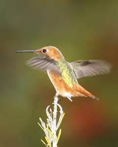 Hummingbird Bird Southern California