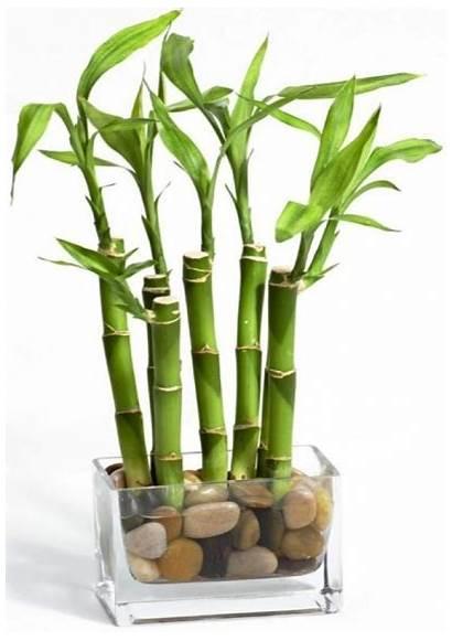 Dracaena Sanderiana Bamboo Lucky Plant Stalks Meaning
