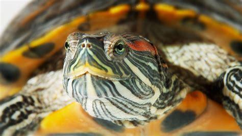 aquatic turtles how to set up an aquatic turtle tank pet turtles youtube