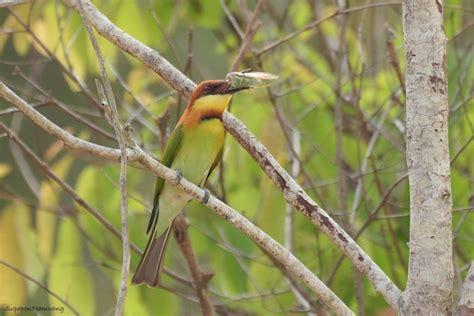 นกจาบคาหัวสีส้ม (Chestnut-headed Bee-eater) - สมาคมพัฒนา ...