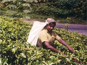 Cash Crops- Tea, Coffee, Jute, Groundnut and Sugarcane ...