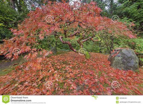 japanese maple tree in portland japanese garden autumn