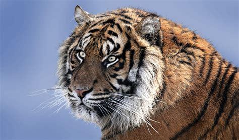 tiger portrait  stock photo public domain pictures