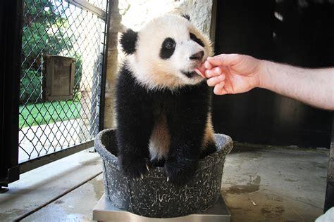 giant panda cub bao bao turns    smithsonian