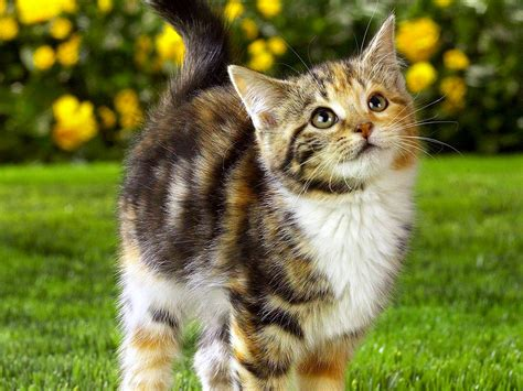 Funny Kitten Spoiled Wallpapers Hd Desktop And Mobile