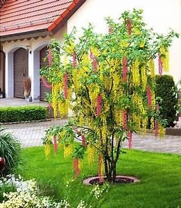 Sträucher Auf Stamm : chim ren goldregen 1 pflanze im mein sch ner garten shop b ume str ucher pinterest ~ Michelbontemps.com Haus und Dekorationen