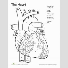 Awesome Anatomy If I Only Had A Heart!  Worksheet Educationcom