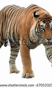 Male Bengal Tiger Panthera Tigris Isolated Stock Photo ...