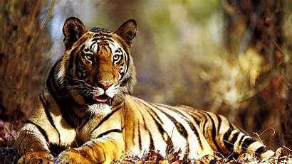 1080p Tiger Wallpapers Amazing Tigers Widescreen Pixelstalk