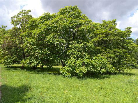 Der Trompetenbaum Wesen & spirituelle Bedeutung