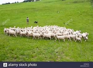 Herd Auf Englisch : neuseeland nordinsel in der n he von wellington hirten und schafe hunde herde schafe in der ~ Orissabook.com Haus und Dekorationen