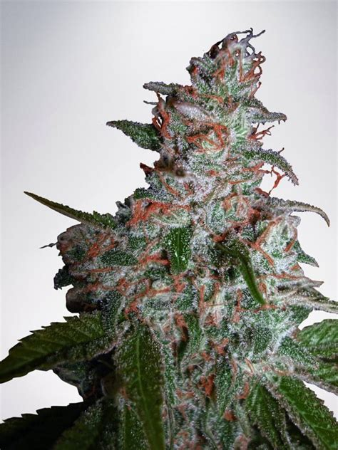 northern lights strain northern lights moc feminized ministry of cannabis