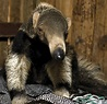 Giant Anteater | Facts & New Photographs | The Wildlife