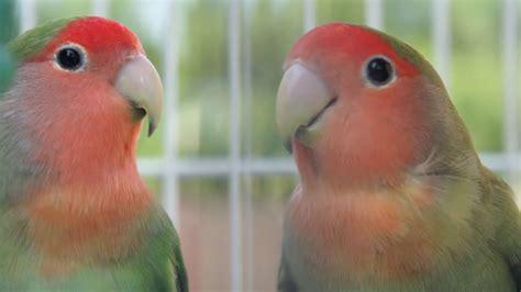lovebirds hd youtube