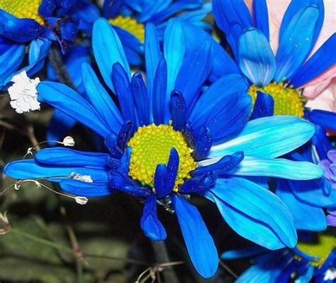 bright blue daisy flowers picturejpg  comment