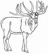 Elk Coloring Pages North Bull American Mountain America Rocky Printable Template Sketch Getcolorings Adults Templates Popular Birds sketch template