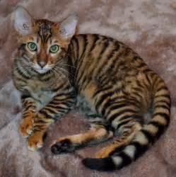 cat for price toyger kitten puppy gallery