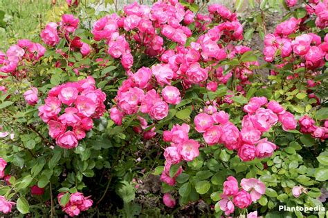 Pruning Roses  How To Prune Roses, When To Prune Roses