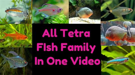 types  tetra fish youtube