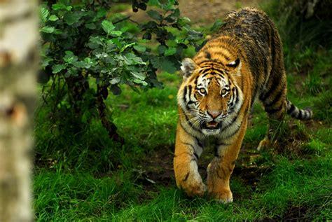Best Wallpaper Hd 1080p Free Download 1366×768  Big Cats