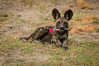 Wild Ecology African Dog Behr Dominik Pup