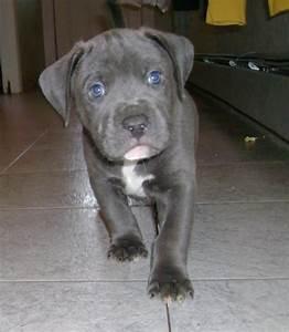 Grey Pitbull With Blue Eyes I WANT!!!   Animals ...