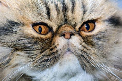 foto persiani il gatto persiano tabby scheda completa di questa razza