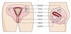 The Female Reproductive System  Sistema Reproductor Femenino