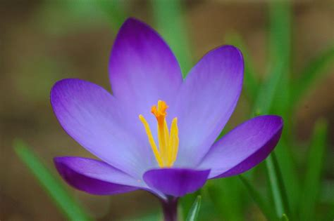pictures of crocus crocus flower