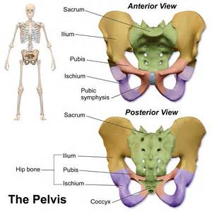 Pubic Bone Diagram by Pelvic Bones
