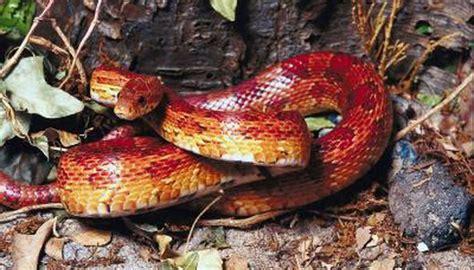 long   average corn snake grow animals momme