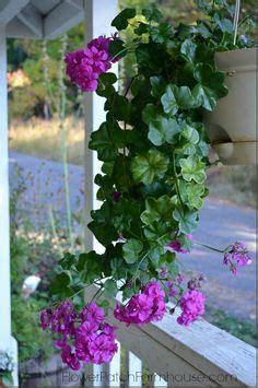 Trailing Geranium Ivy How Grow Leaf