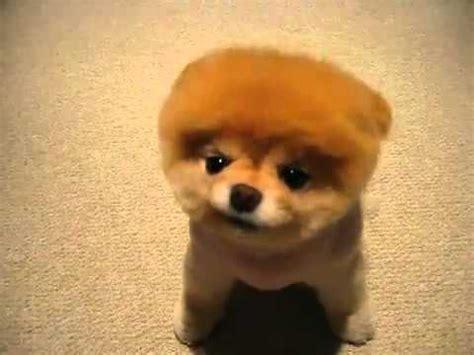 boo der suesseste hund der welt youtube