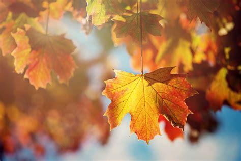 Orange Leaf Wallpaper by Leaves Leaf Tree Autumn Orange Wallpaper 2000x1335