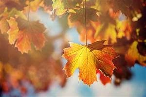 Leaves leaf tree autumn orange wallpaper | 2000x1335 ...