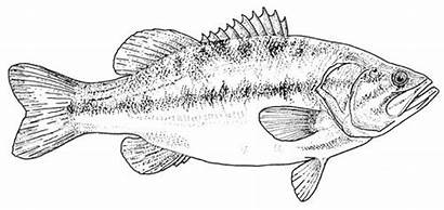Coloring Pages Bass Fish Largemouth Template Drawings