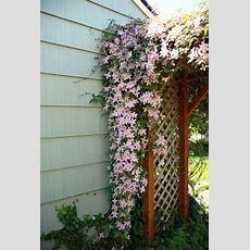 Climbing Clematis  'pink Fantasy' Summer Flowering