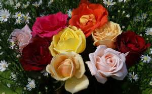 Colorful Rose Flower