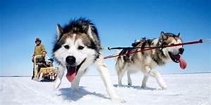 Sled Dogs - Pomsky Pals