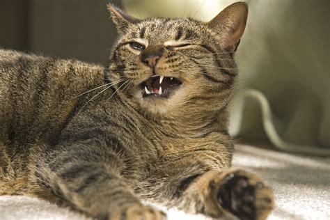 cysts   gums  cats symptoms  diagnosis
