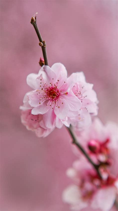 light pink flowers light pink flowers wallpapers impremedia net