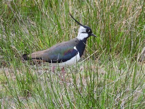 Grassland Birds Nature Observation