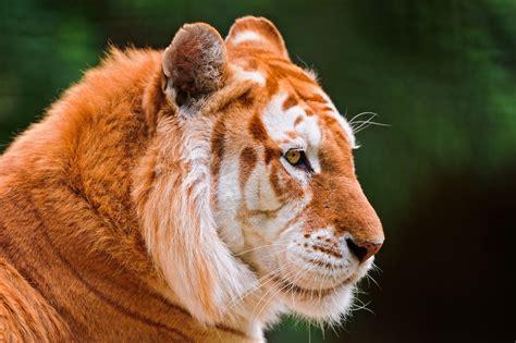 Tiger Face White Line Wallpapers Desktop Mobile