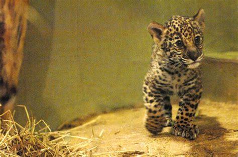 Mesker's Baby Jaguars Go On Display
