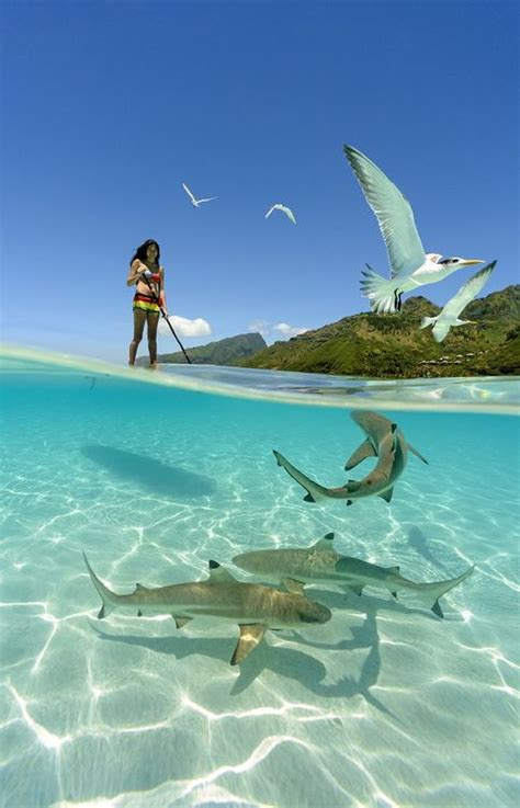 girl paddle boarding  sharks   crystal clear