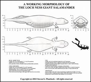 The Loch Ness Giant Salamander  A New Morphology Vs