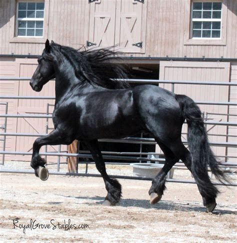 friesian stallion royal ster shoot stables grove