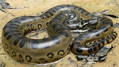 Anaconda Pattern Wallpapers13 Resolution