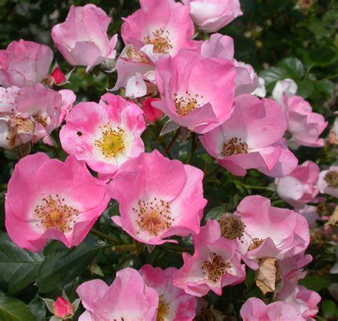 shrub roses shrub roses gammon s garden center landscape nursery